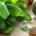 Di Curzio Basil celery free